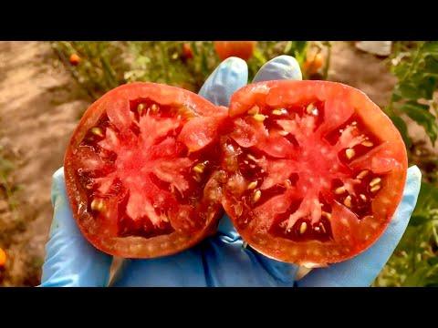 Посадите эти томаты, не пожалеете!