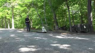 Greensboro Dog Training - Samoyed Puppy Training - Nikki