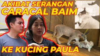 BAIM'S CARACAL ATTACK PAULA'S CAT .. !!
