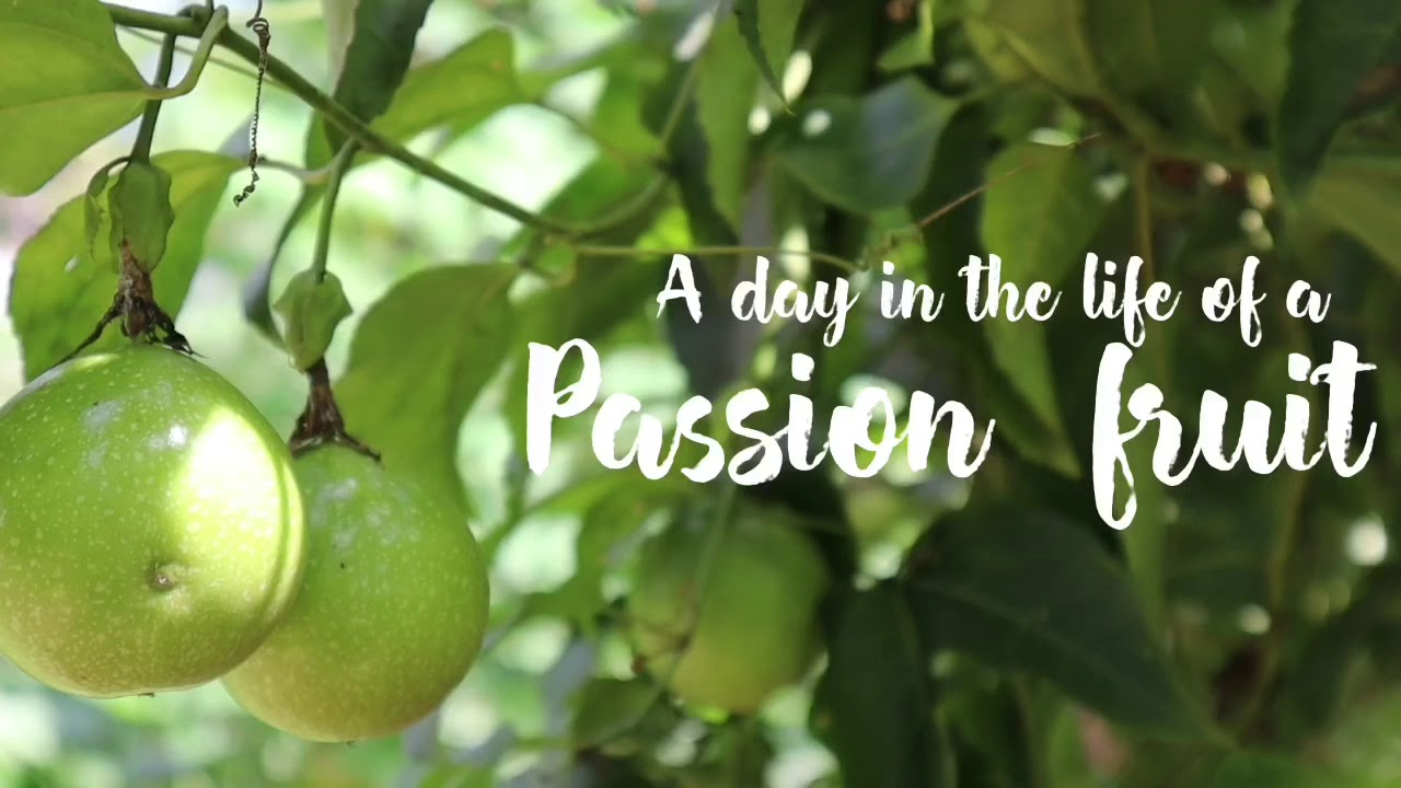 A day in the life of a Passion fruit   Canon EOS M50 captures   J movies official