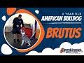 4-Year Old American Bulldog