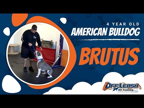 4-Year Old American Bulldog 'Brutus:' Before/After Video With Owner Testimonial!