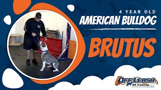 "4-year Old American Bulldog ""brutus:"" Before/after Video With Owner Testimonial!"