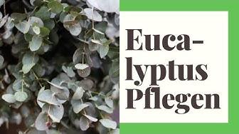 Eukalyptus Pflegen (So geht's richtig)
