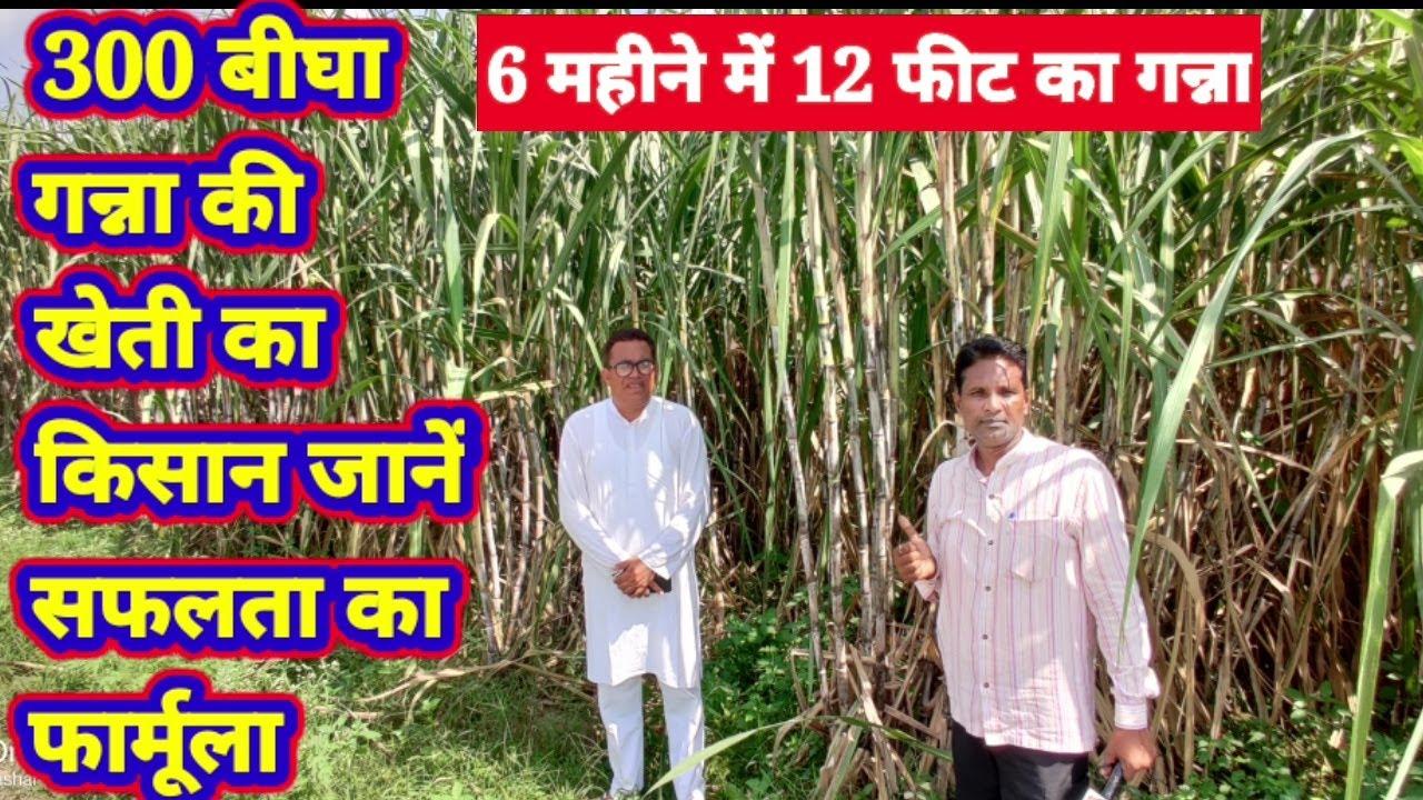 Big Ganna farmer: 300 बीघा गन्ने की खेती करने वाले किसान की सफलता और अनुभव