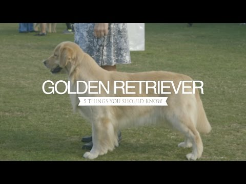 golden-retriever-five-things-you-should-know