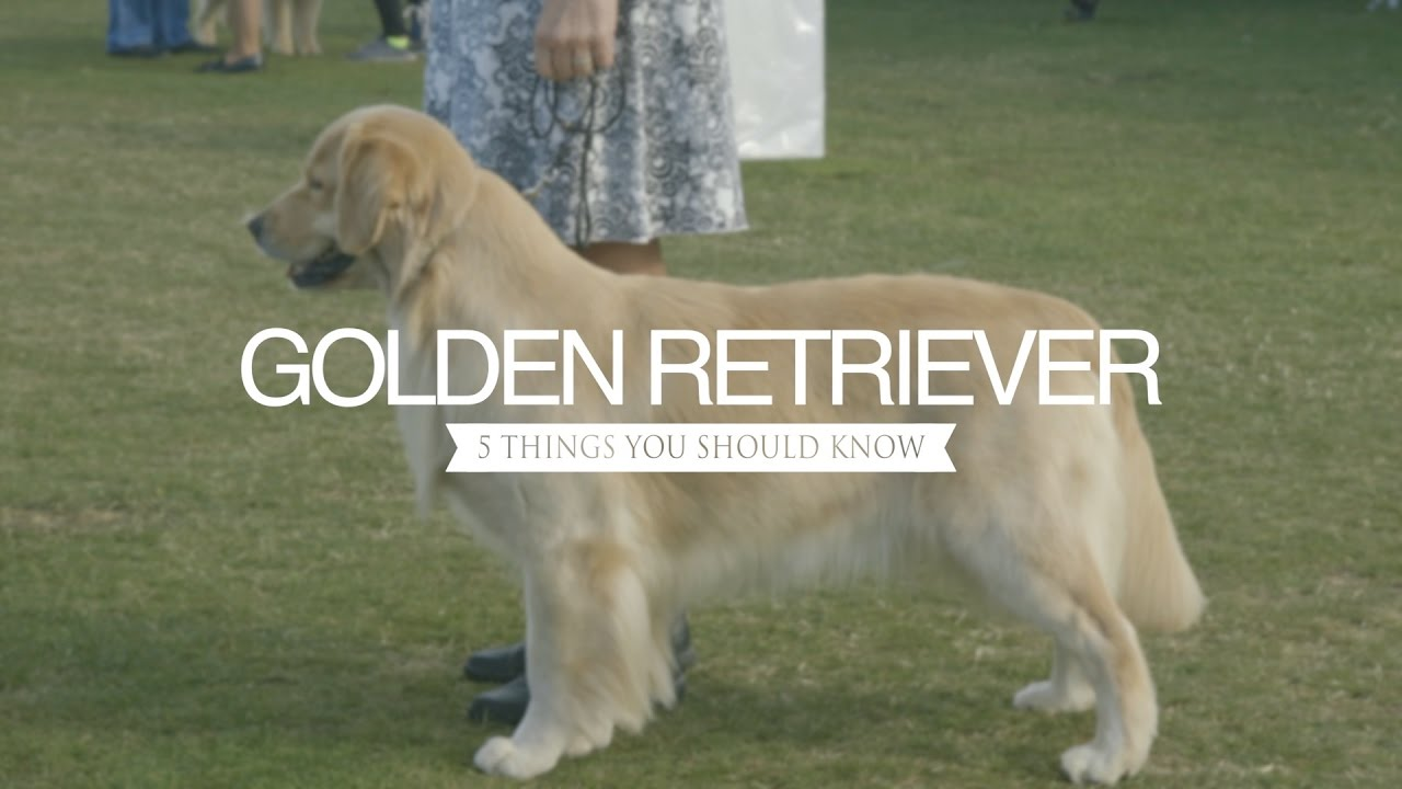 Golden Retriever Five Things You Should Know Youtube
