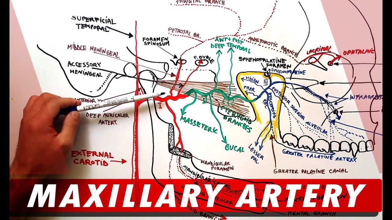 MAXILLARY ARTERY and its Branches - Anatomy Tutorial - YouTube