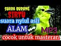 Suara Burung Sirtu Asli Alam  Mp3 - Mp4 Download