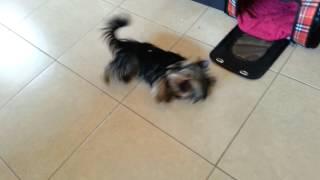 Darya -yorkshire Terrier - Roll Over