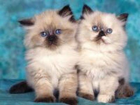 британцы котята вислоухие ижевск