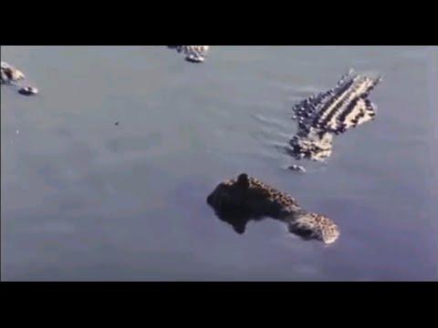 Alligators eating Jaguar ♦  Animal Attack