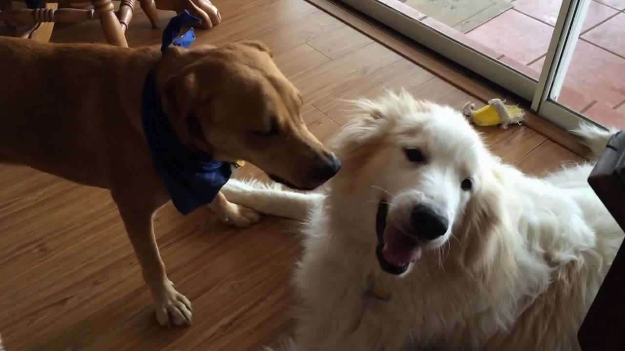 Great Pyrenees Dogs As House Dogs