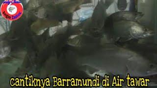 Tips cara memelihara ikan Kakap di air tawar