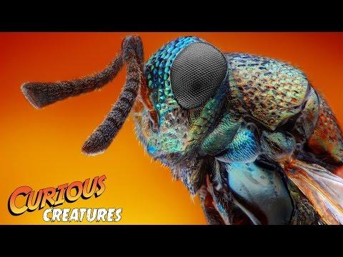 Jewel Wasp | Curious Creatures