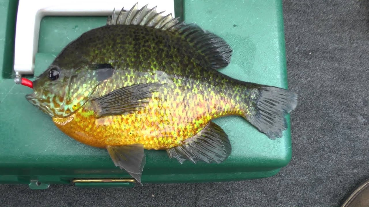 Giant 9 5 inch panfish sunfish and bluegills on jighead for Bluegill fishing lures