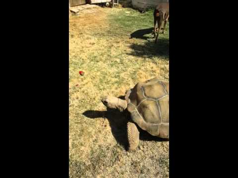 two male Aldabra tortoises
