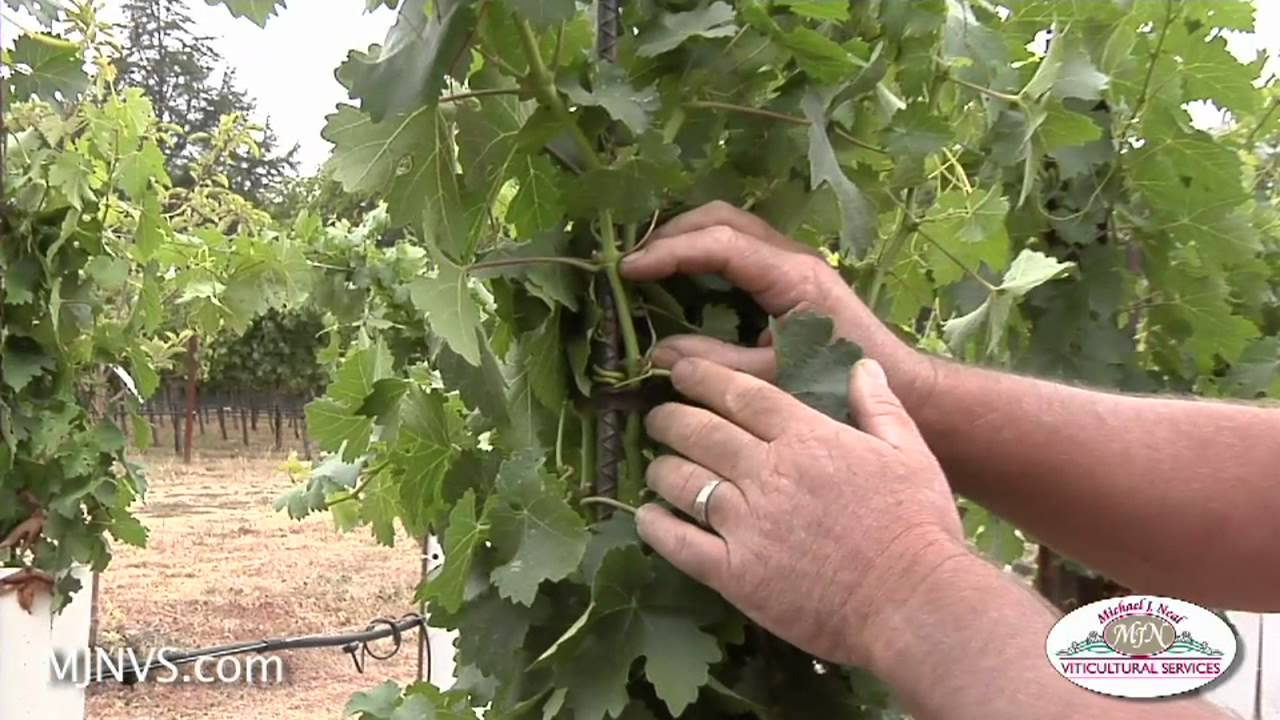 Small Backyard Vineyard re-visiting a small backyard vineyard 3 mos. after planting - youtube