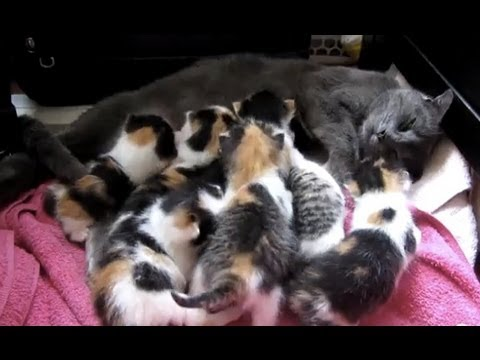 Kittens fighting over mom: 7 girls, 1 boy!