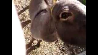 Braying Donkey - Hey Baby