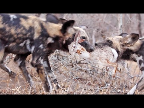 Wild Dogs Tear Hare In Half
