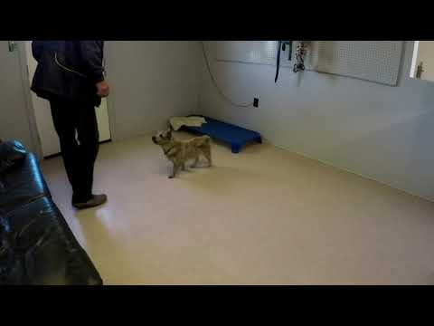 Cairn Terrier training come command