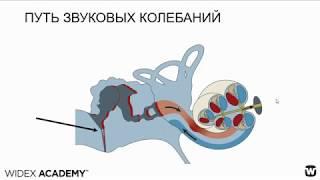 Анатомия и физиология органа слуха