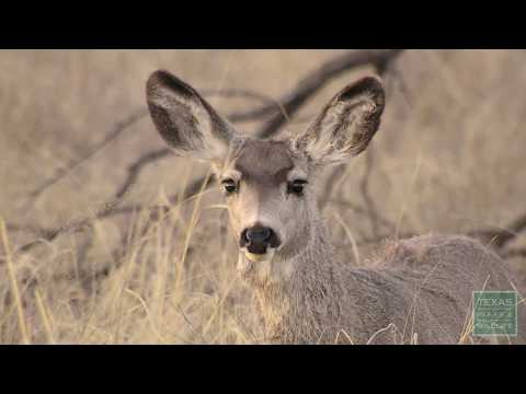 Mule Deer Research - Texas Parks & Wildlife [Official]