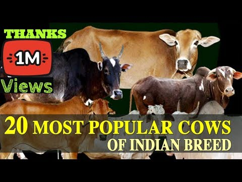 20  MOST POPULAR COWS OF INDIAN BREED ( IN HINDI )