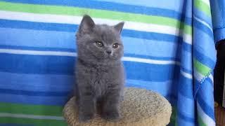 Британский котик , продается в Екатеринбурге 8 912 602 47 82