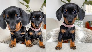 Smallest dachshund female of them all.