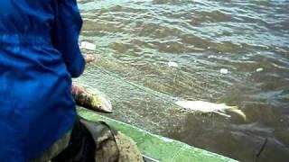 Улов за 10мин. 1 тонь.AVI(PUTINA 2010 Amur river Циммермановская тонь,сплав верхом, сеть длина 80 м. Кета осенняя., 2010-10-07T07:28:19.000Z)