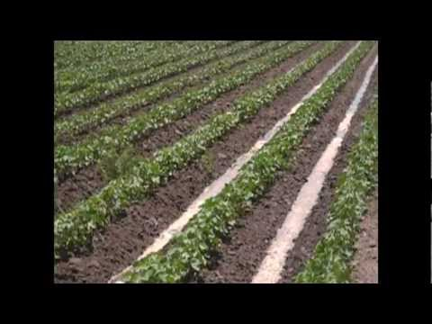 furrow irrigation of cotton in Mississippi County, Arkansas summer 2010