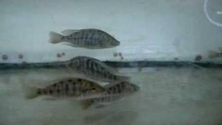 lake malawi, stuart grant fish house