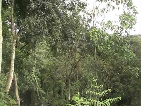 Colobus Monkeys jumping