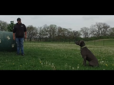 Best Dog Training in Columbus, Ohio! 1 Year Old Weimaraner mix, Boots!