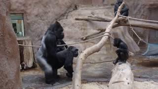 ZOO Prague - Gorillas - Kamba and Richard - sex to celebrate her birthday (45)