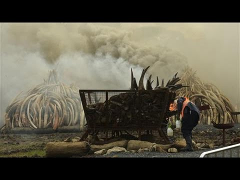 Kenya Burns Ivory in Protest of Elephant Poaching