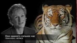 День  охраны  дикой  природы - Wildlife Conservation Day Video - Tigers(, 2012-12-03T10:53:57.000Z)