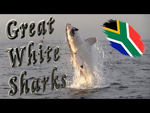 Great White Sharks in False Bay