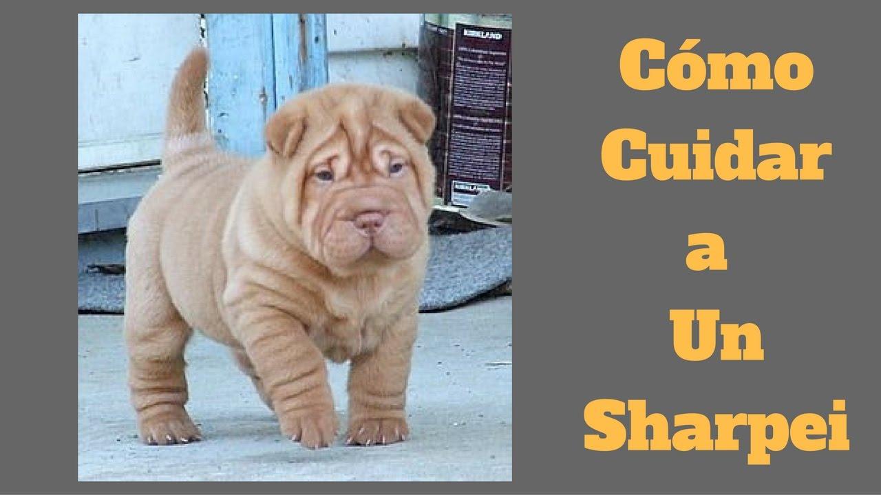 Como cuidar a un perro shar pei sharpei cuidados youtube - Como banar a un perro ...
