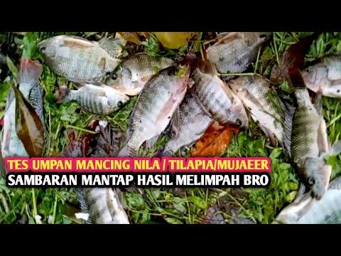 Download TES UMPAN..!! Mancing Ikan Nila/Tilapia/Mujaeer || Sambaran Mantap Hasil Melimpah