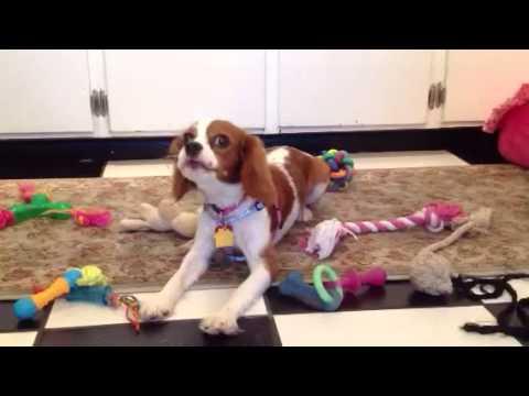 Cavalier King Charles Spaniel Singing/ puppy singing