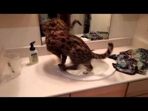 F1 Savannah Cat Daytona Impressing the Ladies With His Sink Swimming Skills