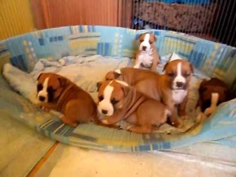 American Staffordshire Terrier Puppies 24 Days Old
