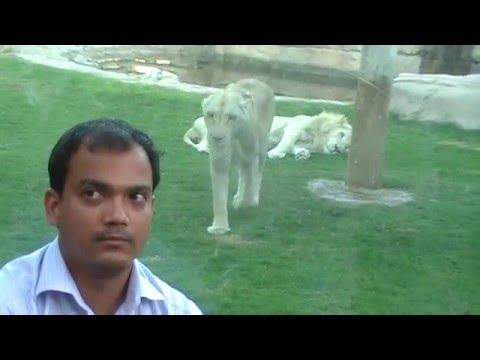 WHITE LION ATTACKED MIRZA IN ALAIN-ZOO-UNITED ARAB EMIRATES