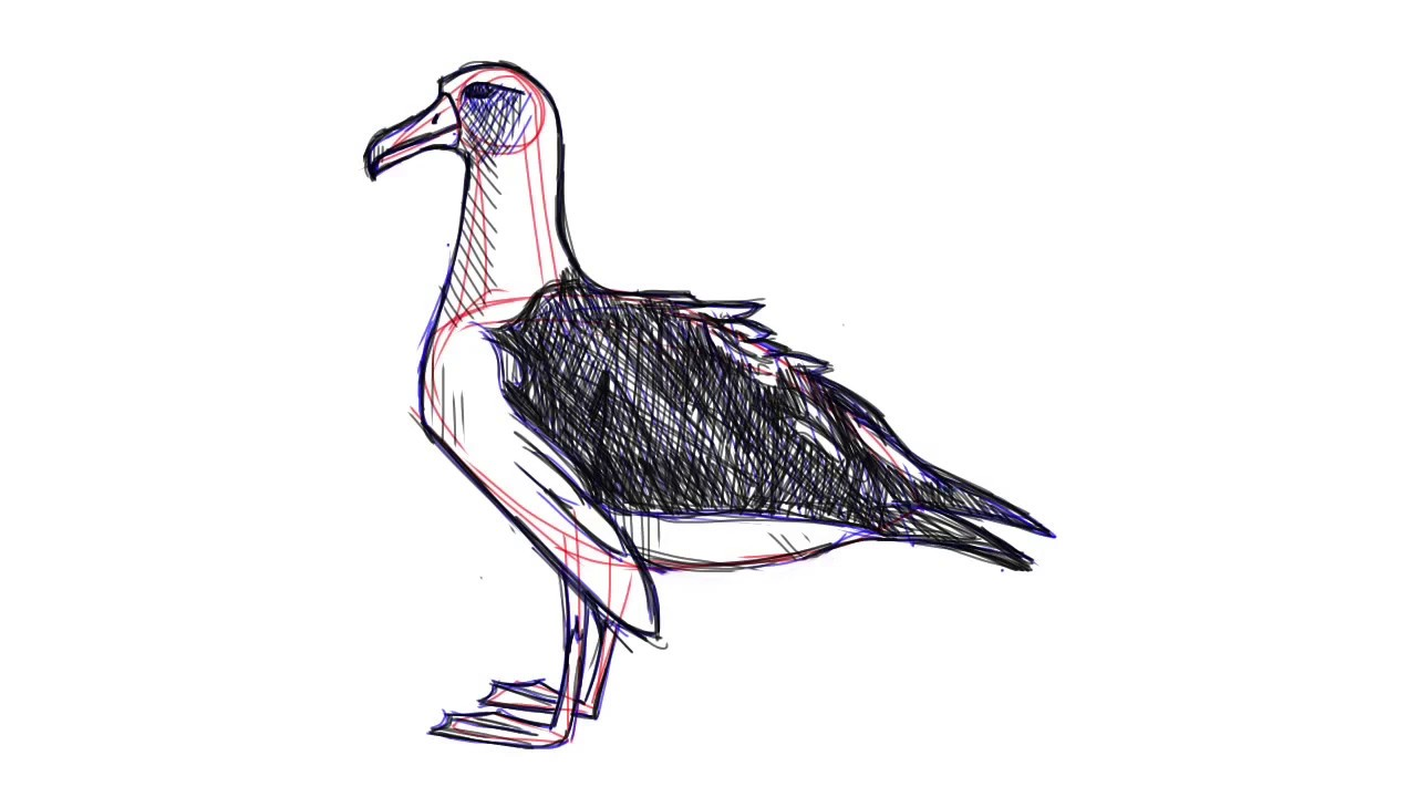 how to draw an albatross