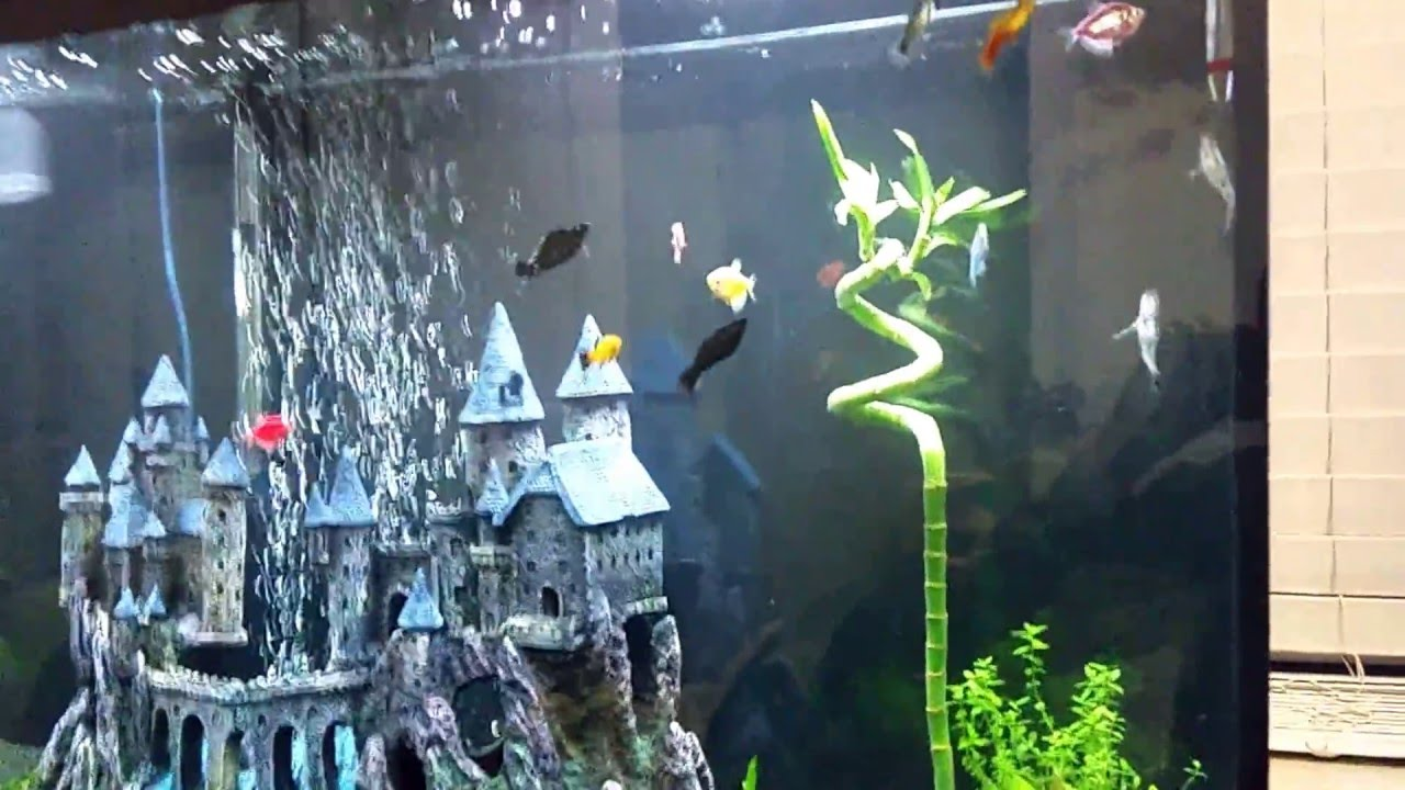 Lucky Bamboo Completely Submerged In Aquarium Can Be Done Youtube