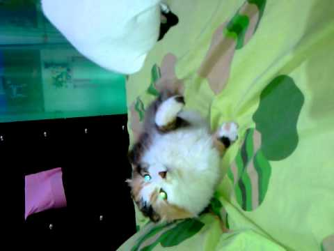 Wild Cat in lebanon Poussy