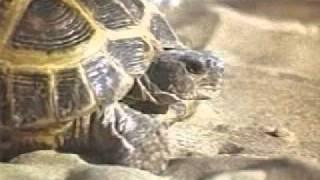 Класс Пресмыкающиеся. Черепахи.avi